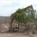 p1020920_giraf