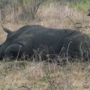 p1020964_rhino