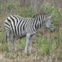 p1020893_zebra