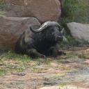 p1020969_buffel